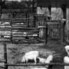 Spremberg: Schweinemast am Knappenweg im Jahr 1953