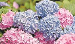 Kein Sommer ohne Hortensien