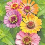 Spreewaldgärtner haben maßgeblichen Anteil an Erfurts Blütenmeer der Superlative
