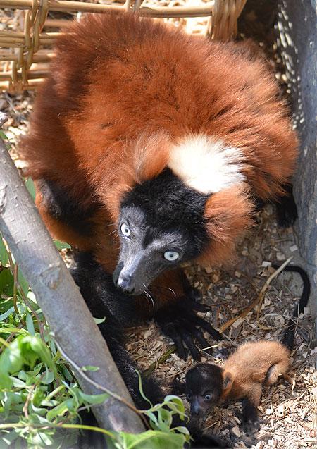 Ein kleiner Vari macht Seenland-Zoo berühmt