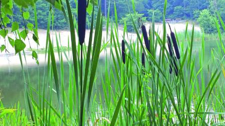 Madlow: Dicke Rohrkolben sehen die verbliebenen Freunde des Sees als gutes Zeichen. Er hat sich biologisch wieder erholt