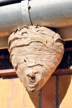 Wespen und Hornissen sorgen  für viel Angst und Arbeit