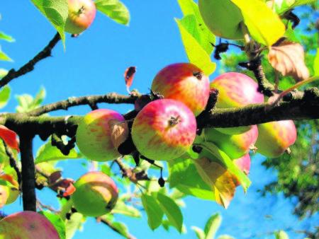Für mehr Früchte müssen die Sägen ran