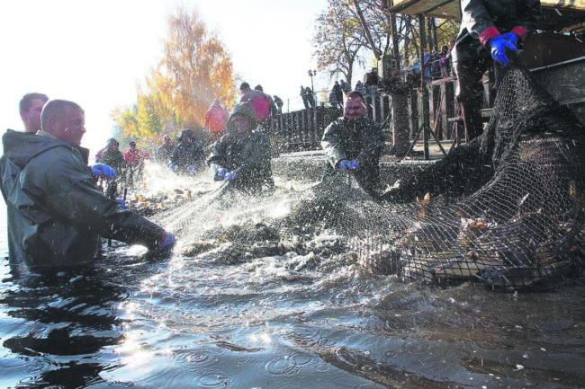 Großer Peitzer Fischzug am 27. und 28. Oktober mit Abfischen und neuem Buch