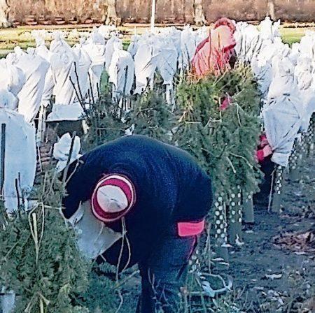 Forst: Rosen auf den Winter vorbereiten
