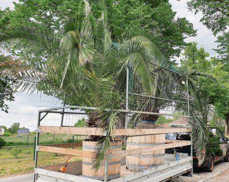 Cottbuser Palmen