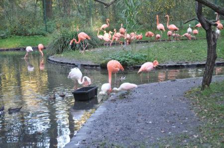 Cottbus: Flamingo Nachwuchs