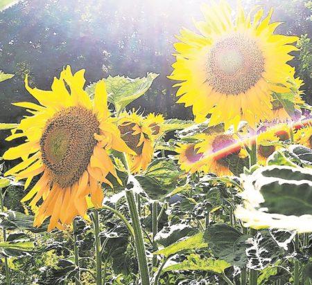 Region: Sonnenblumenkerne richtig ernten