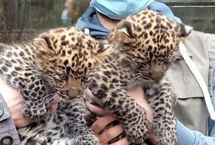 Jung-Leoparden im Tierpark Cottbus