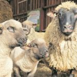 Kutzeburger Mühle: Saison für Lämmer und Schlemmer