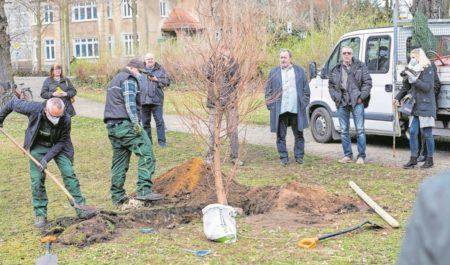 Neupflanzung im Senftenberger Schlosspark