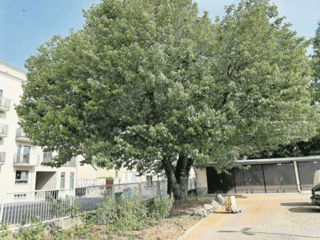 LWG hilft bei Schutz des ältesten Cottbuser Maulbeerbaums