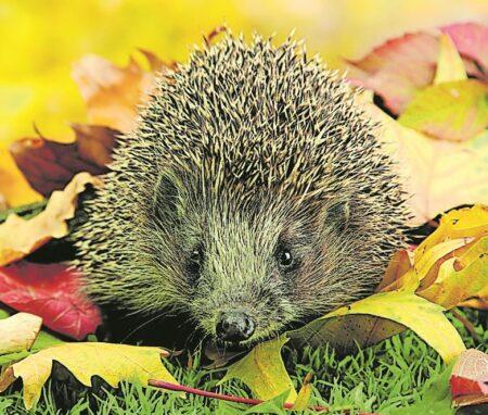 Igel im Herbst durch vorbereiteten Garten unterstützen