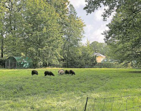 Parkpflege wie zu Zeiten Pücklers mittels Schafen